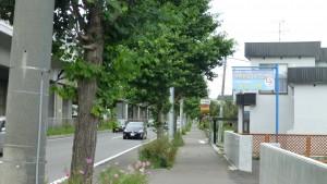 札幌新道とイチョウ並木