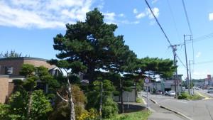夫婦松記念樹