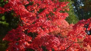 本殿付近の紅葉