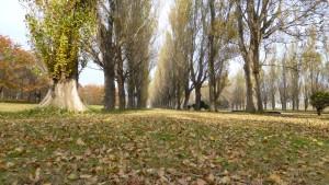 ポプラ並木と落ち葉