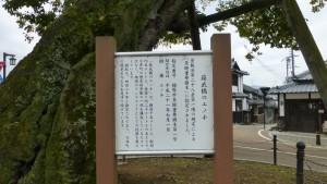 蘇武橋のエノキ