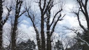 ポプラの大木