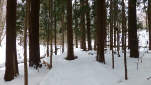 杉木立の中の木道