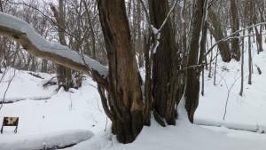 カツラの古木