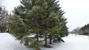 アカエゾマツ並木