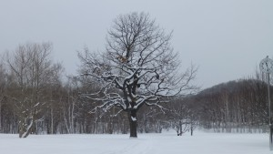 かしわ広場とカシワの古木