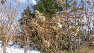 ノリウツギの冬花