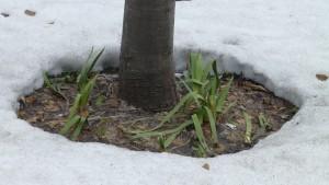 春を告げる「雪根開き」