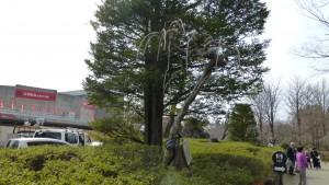 シダレクワ並木