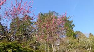 梅楽苑の梅