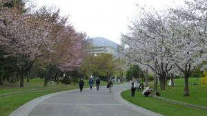 桜並木ー右がソメイヨシノ、左がエゾヤマザクラ
