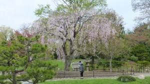 日本庭園内のシダレザクラ