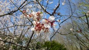 白梅の花びら