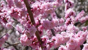 紅梅の花びら
