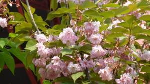 ヤエザクラの花