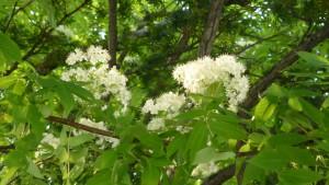 3丁目 ナナカマドの花
