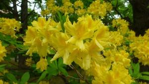 キレンゲツツジの花