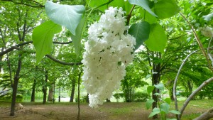 白いライラックの花