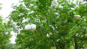白いライラック