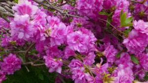 ヨドガワツツジの花