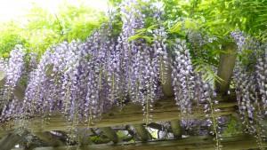 日本庭園のフジ棚