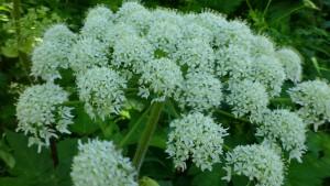 オオハナウドの花