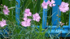 ナデシコの花?