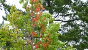 ナナカマド 季節外れの紅葉