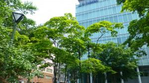 新緑のハウチワカエデ