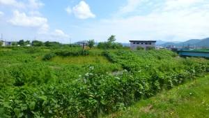 中の川・軽川の合流点とワラビ川排水機場