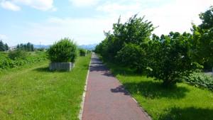 遊歩道とサクラ並木(右側)