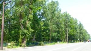 真駒内通のポプラ並木
