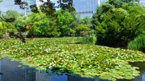 赤レンガ南の池のスイレン