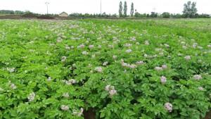 ジャガイモ畑