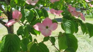 ベニバナヤマボウシ