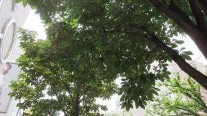 トチノキ(駅前通の街路樹)