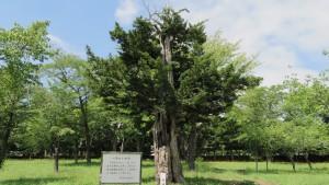 樹齢八百八十余年のイチイ(護国神社)