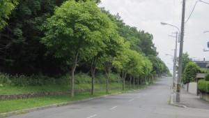 森林総合研究所前のトチノキ並木
