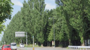 札幌ドーム前のポプラ並木