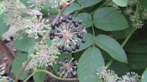 タラノキの花と実