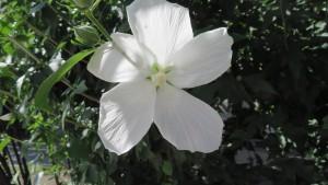 白いムクゲ