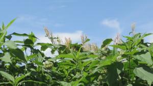 オオイタドリの花