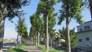 ヤチダモ並木