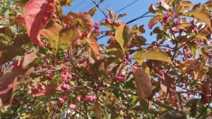 マユミの実と紅葉