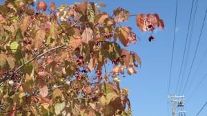 ツリバナの実と紅葉