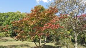 ハウチワカエデの紅葉(東部緑地)