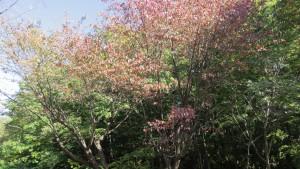 カスミザクラの紅葉(青葉中央公園)