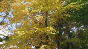 カツラの黄葉(定山源泉公園)