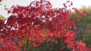 ヤマモミジの紅葉(二見公園)