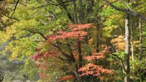 ヤマモミジの紅葉(観憩台)